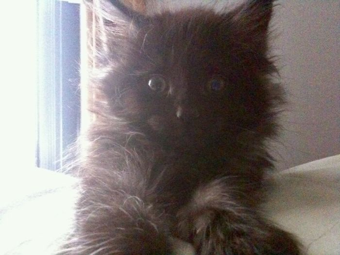 Baby Marlowe (3 Mos) The Morning After I Brought Him Home. Still Fluffy After 10 Years!