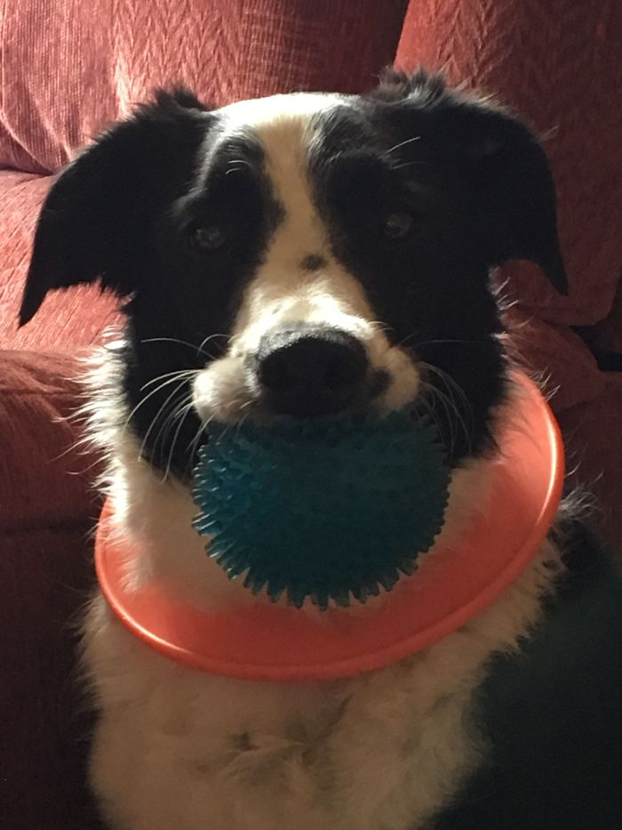 This Is Shilo, My 6 Year Old Rescue Border Collie Puppy Who Is Always Ready To Play And Always Keeps A Toy Near Him To He Can Have A Game With Anyone Who Will Play With Him. He Puts The Play Ring Around His Neck Himself And Carries A Ball So We Can Have A Choice In What We Play With. He's The Perfect Mix Of Love And Fun And I Love Him With All My Heart