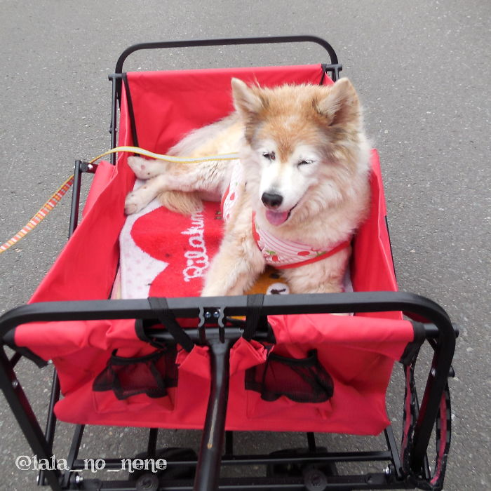 My Old Doggo Loves Cart-Ride. She Is 16 Years Old. She Has Many Warts, And Stinky, Messy, Grumpy. But She Is The Most Adorable Puppy In The World For Me.