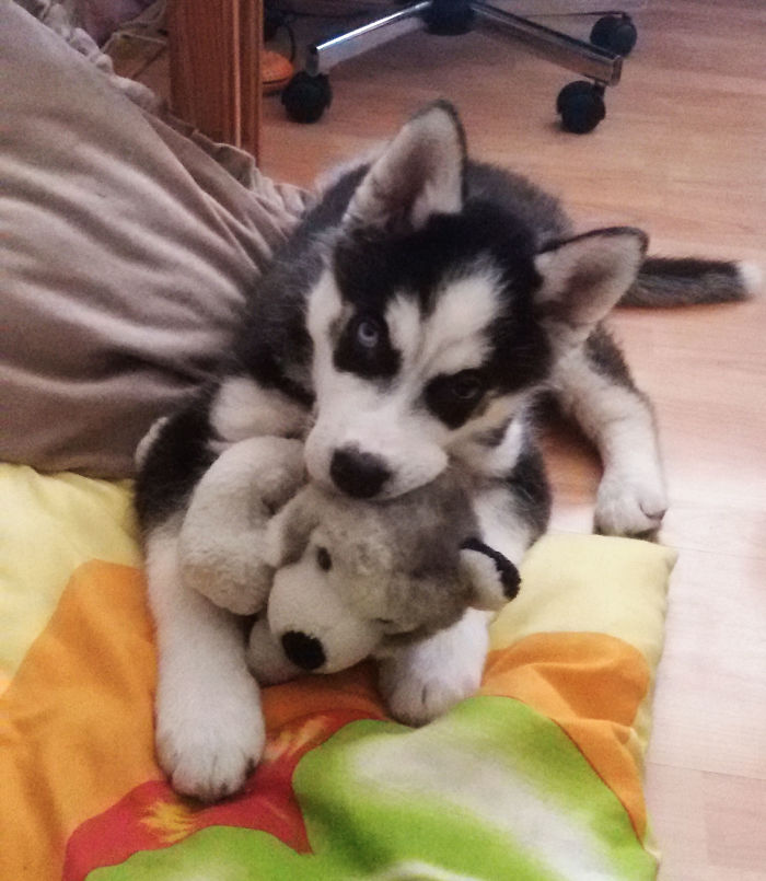 This Is Loki When He Was About 3 Months Old With His Favorite Toy, Now He's Almost 3 Years Old! Sadly, The Toy Was Ripped To Shreds By An Unknown Source