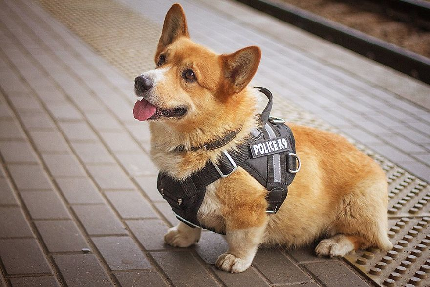 Meet Redhead, A Good Boy Who Was Able To Serve In The Police Despite His Short Legs