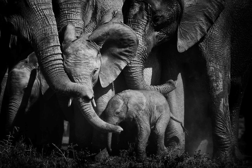 Baby Elephant, Few Day Old New Addition, Bonds Of Love