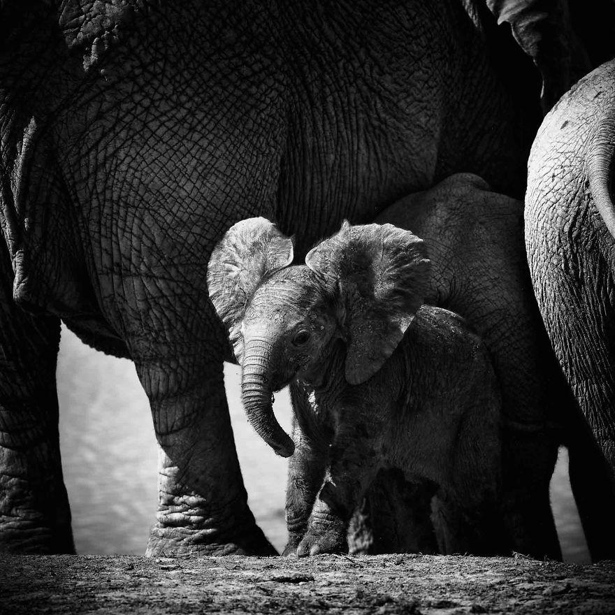 Baby Elephant, Curiosity