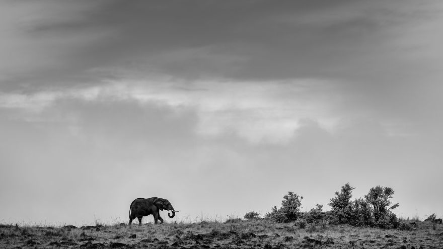 Lone Elephant-But Not Lonely