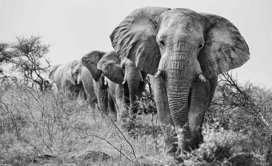 Bull Elephants On The March