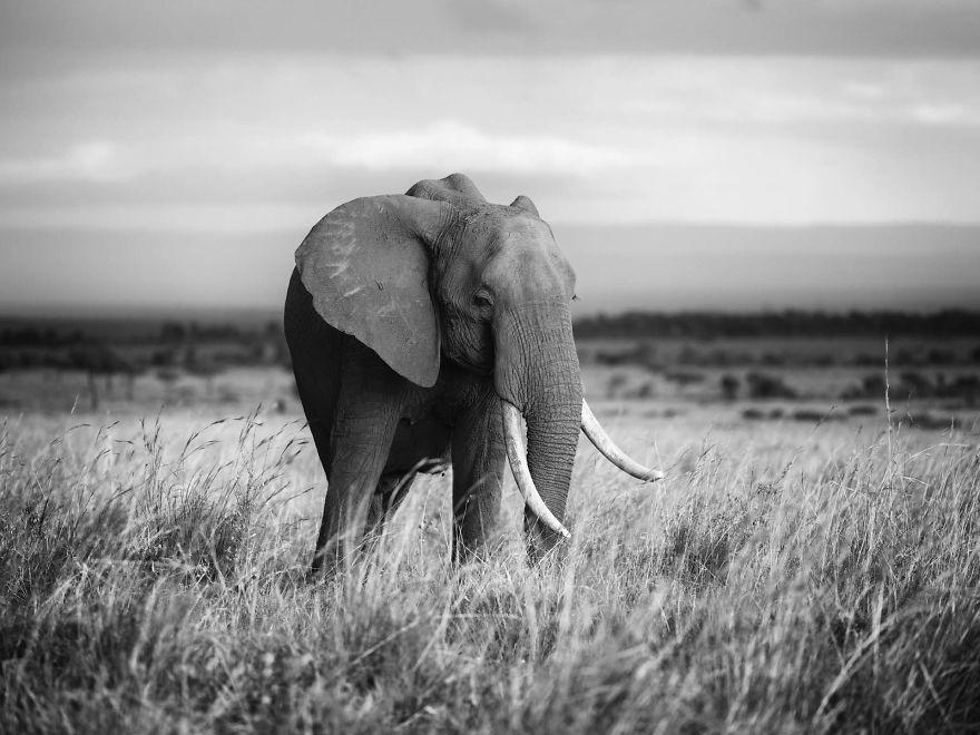 Serenity-Matriarch Elephant