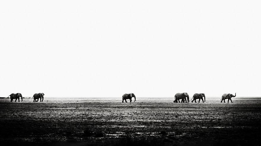 Seven Bull Elephants Marching Across Etosha Pan