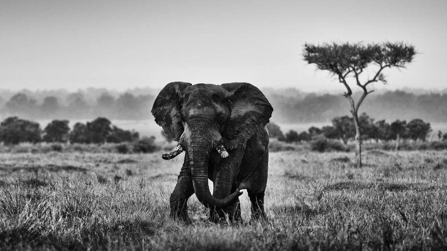 Duke, Bull Elephant, Masai Mara