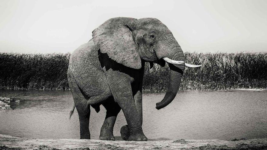Addo Elephant Bull