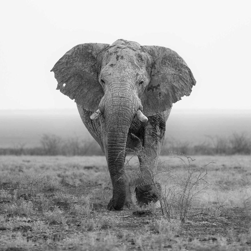 Shadow Bull Elephant