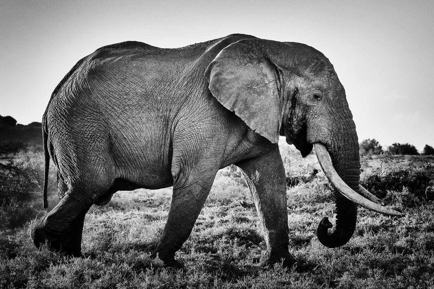Valli, Tusker Addo Elephant Reserve