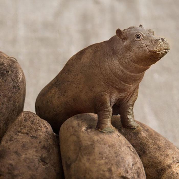 Hippopotatomus