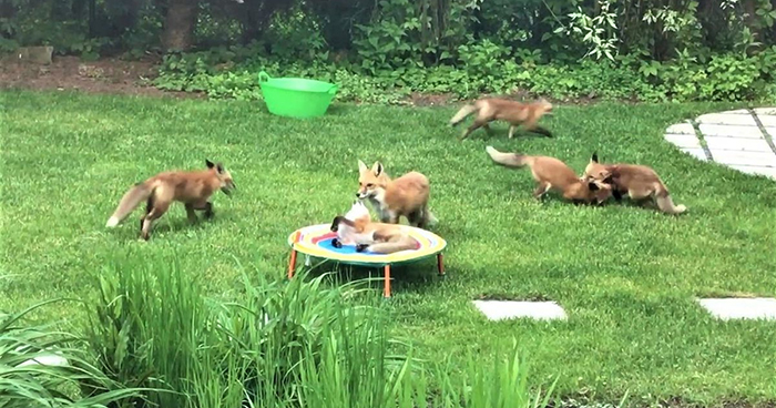 Family Of 7 Foxes Keeps Visiting Man's Backyard Playground To Have A Good Time