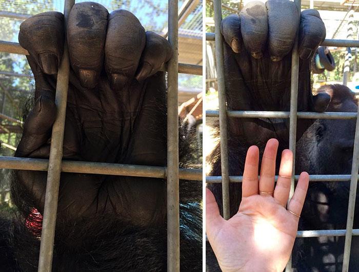 Mano de gorila comparado con una mano humana