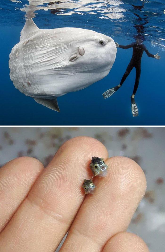 Un pez luna adulto comparado con crías recién nacidas