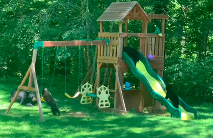 Mama Bear Takes Her 5 Adorable Cubs To Play In A Children's Playground