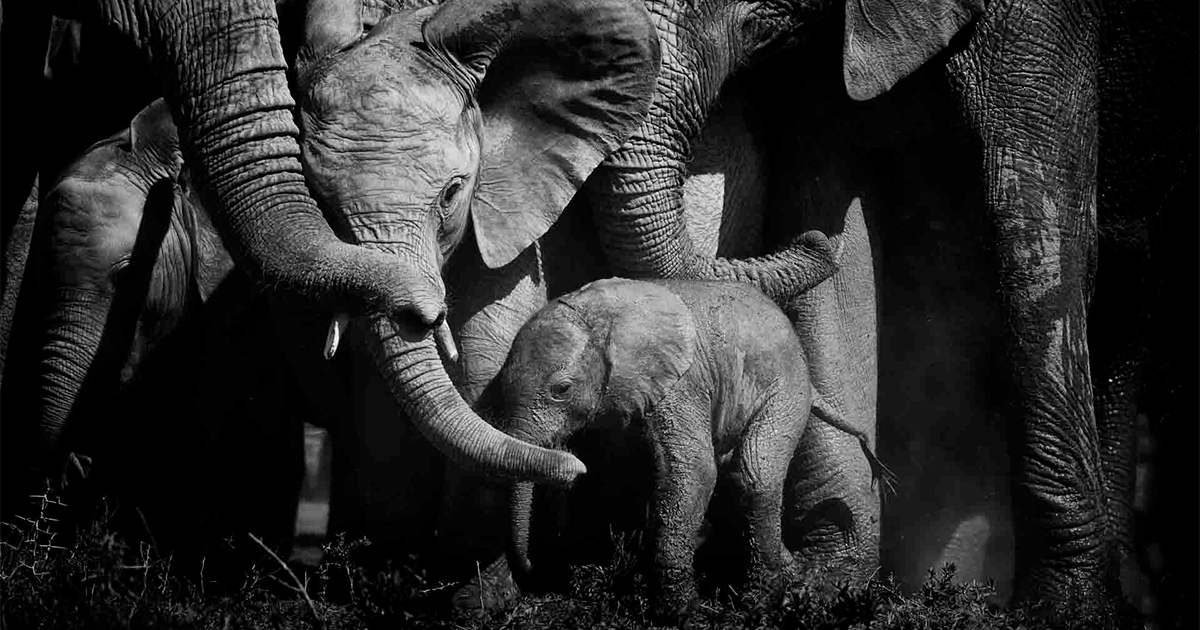 I Capture The Beauty And Peacefulness Of Elephants With My Black And White Photos (24 Pics)