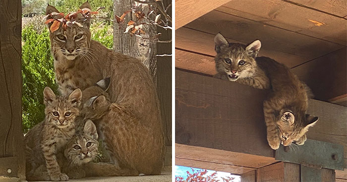 Woman Records A Bobcat Family Having A Blast On Her Front Porch