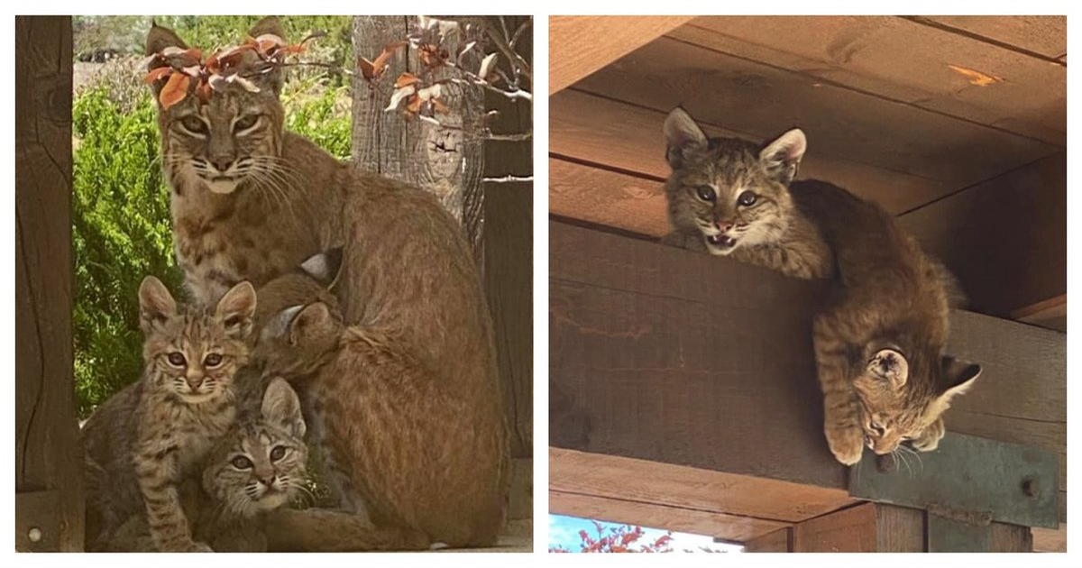 Woman Is Overjoyed To Come Home And Find A Mother Bobcat And Her 5 Babies Just Chilling On Her Front Porch