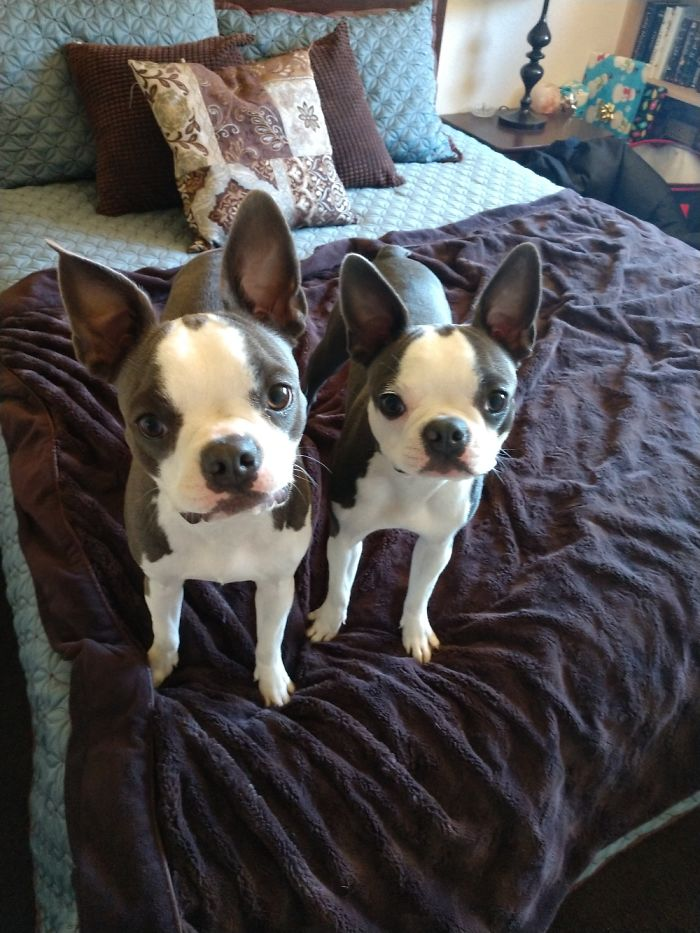 Double Trouble! Boston Terrier Sisters Luna And Ru