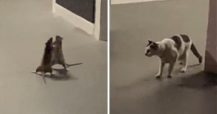 Está mujer captó en un divertido vídeo a un gato que observa a dos ratas peleándose