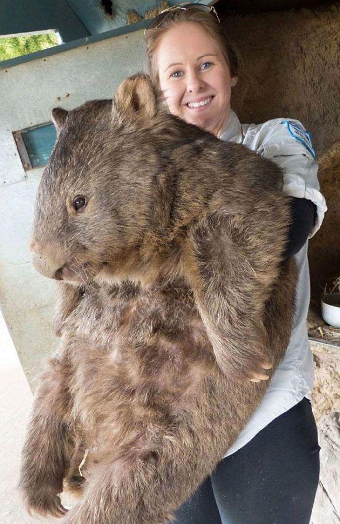Patrick, el wombat más grande y anciano del mundo