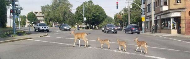 deer-triplets-Oak-Bay-Ave-5efff16813fc5.jpg