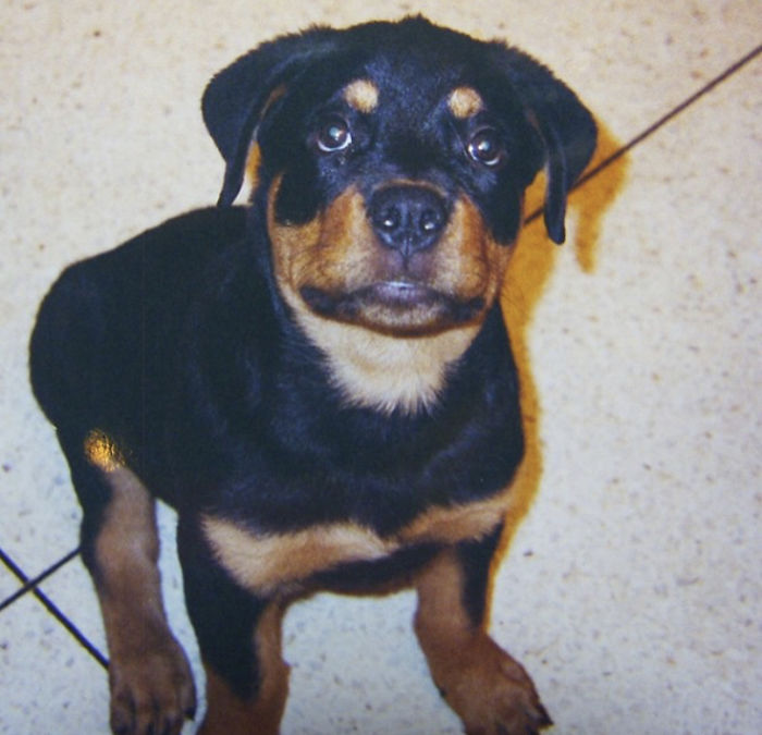 My Little Rott!!! Pilon When He Was Two Months Old!!!