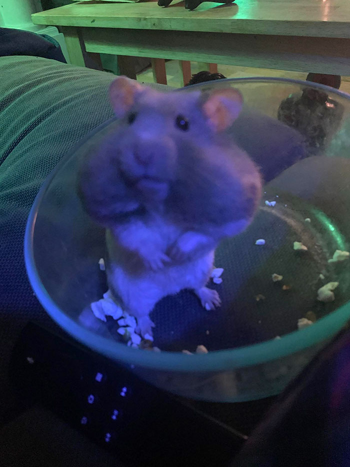 My Cousin's Hamster After Eating A Ton Of Popcorn