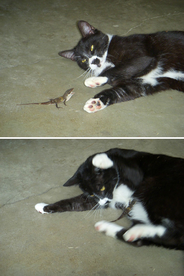 Lizard Gets Pushed To The Edge And Attacks My Cat