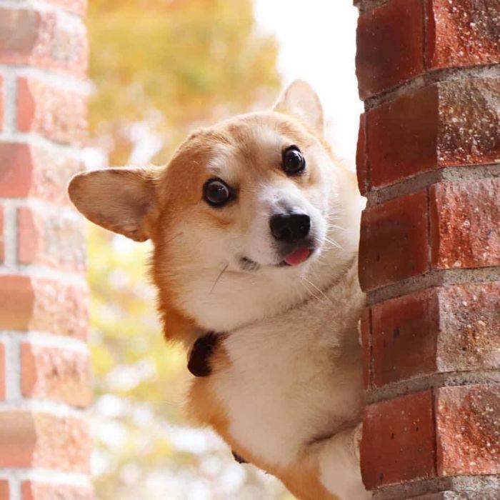 Funny-Expressive-Dog-Corgi-Genthecorgi