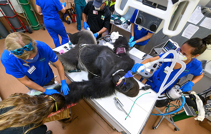 Images Of 433-Pound Gorilla Taking A COVID-19 Swab Test, Among Other Procedures, Got The Internet Buzzing (25 Pics)