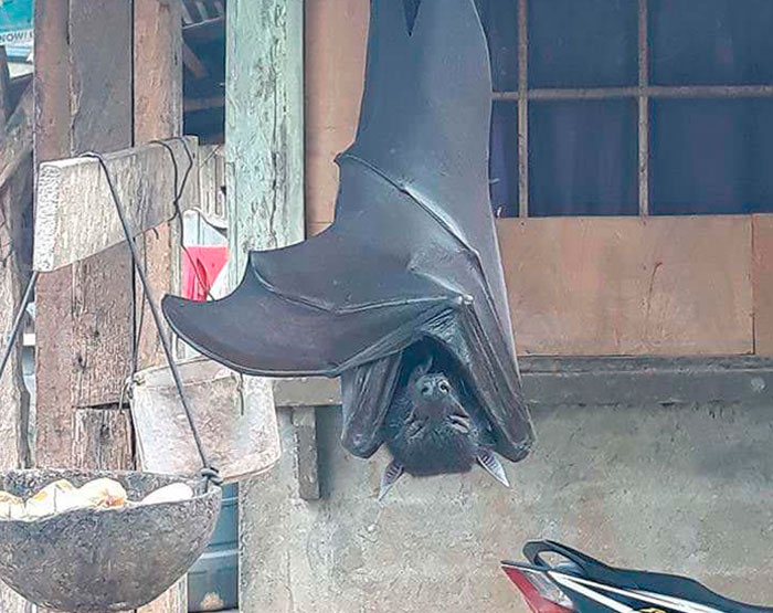 People Are Horrified Over This Enormous 'Human-Sized' Bat