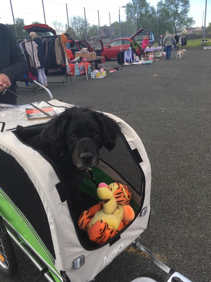 Nambo In His Wagon, During His Recovery From His 4th Knee Surgery, With His New Tigger Toy