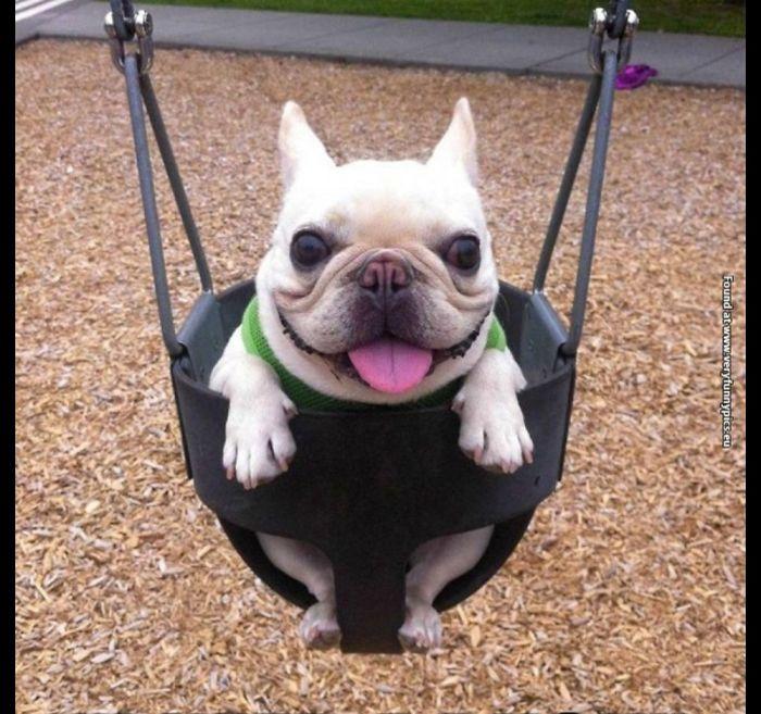 Doug The Pug Is A Swing!