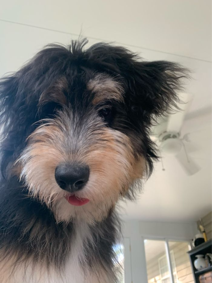 """This Is Bonnie, My 7 Month Old Aussiedoodle. She's A Bit Of A """"Hot Mess""""."""