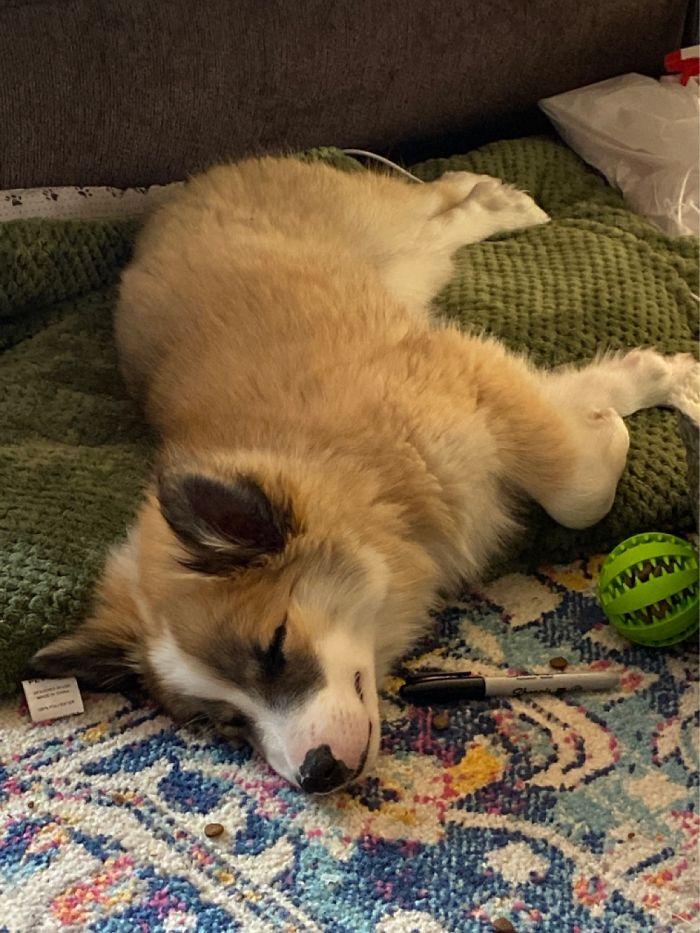 Sleeping Puppy. Skygge — 12 Weeks Old. Service Dog Candidate In Alaska