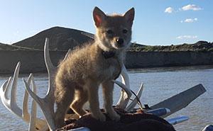 Este canadiense salvó a un cachorro de coyote de ahogarse, y se lo llevó con él durante su viaje en balsa de 10 días