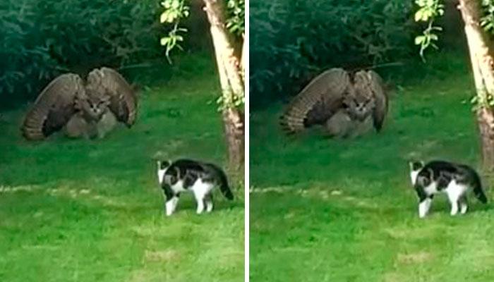 Este ave de presa intenta intimidar a un gato doméstico indefenso mostrando lo grande que es