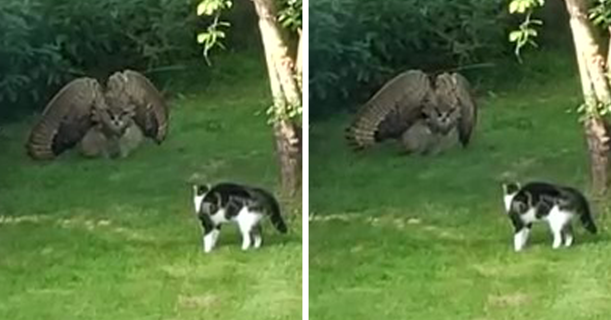 Someone Captures A Stunning Video Of An Owl Trying To Intimidate A Defenseless Family Cat