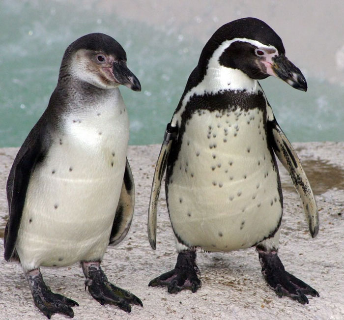 Someone Donates A Bubble Machine To The Penguins Of Newquay Zoo And They Love It