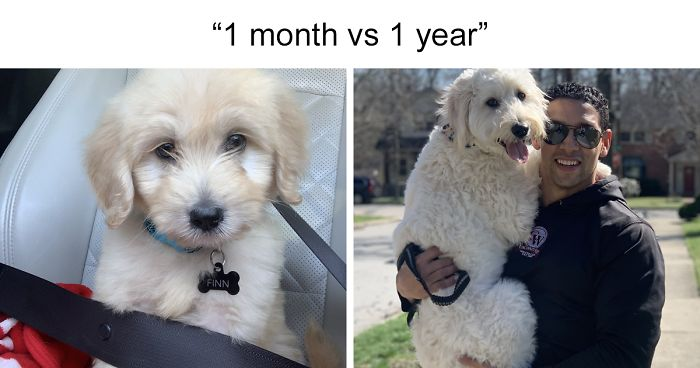 People On Twitter Are Posting Pics Of Their Dogs As Little Puppies Vs. What They Look Like Now (67 Pics)