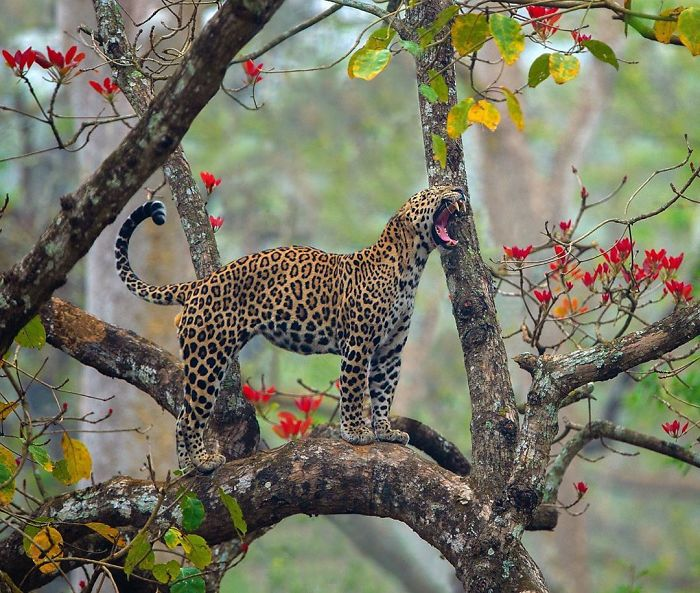 19 Stunning Photos Of A Rare Black Panther Roaming In The Jungles Of India