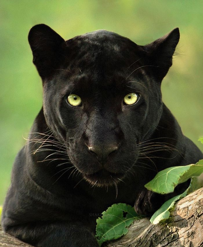 19 Stunning Photos Of A Rare Black Panther Roaming In The Jungles Of India Bored Panda