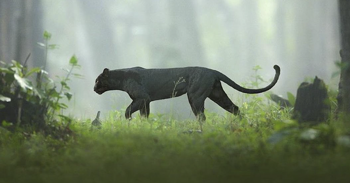Wildlife Photographer Spends 2.5 Years Capturing The Rare Black Panther Roaming In The Indian Jungle