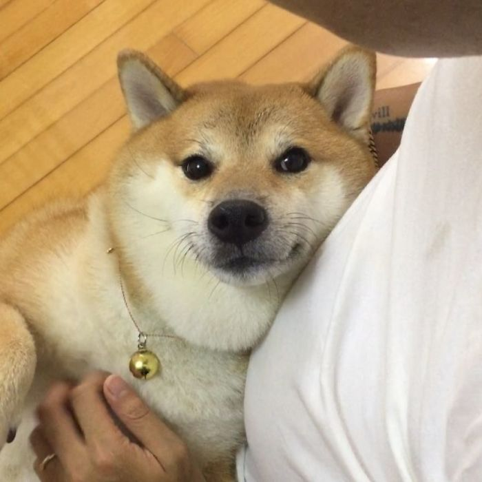 Shiba-Cheems-Meme-Dog-Balltze
