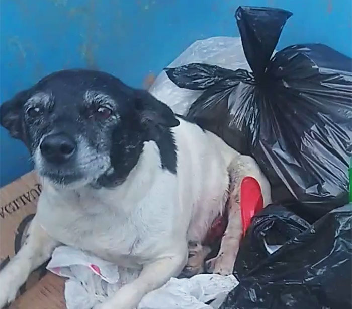 Dog With A Tumor Is Thrown Away In A Dumpster Like Trash