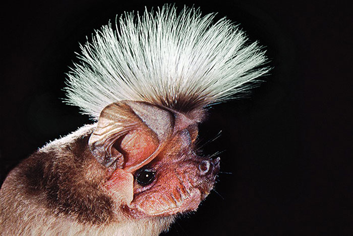 Chapin's Free-Tailed Bat