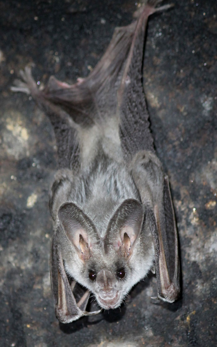 Greater False Vampire Bat