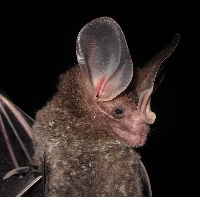 Big-Eared Woolly Bat